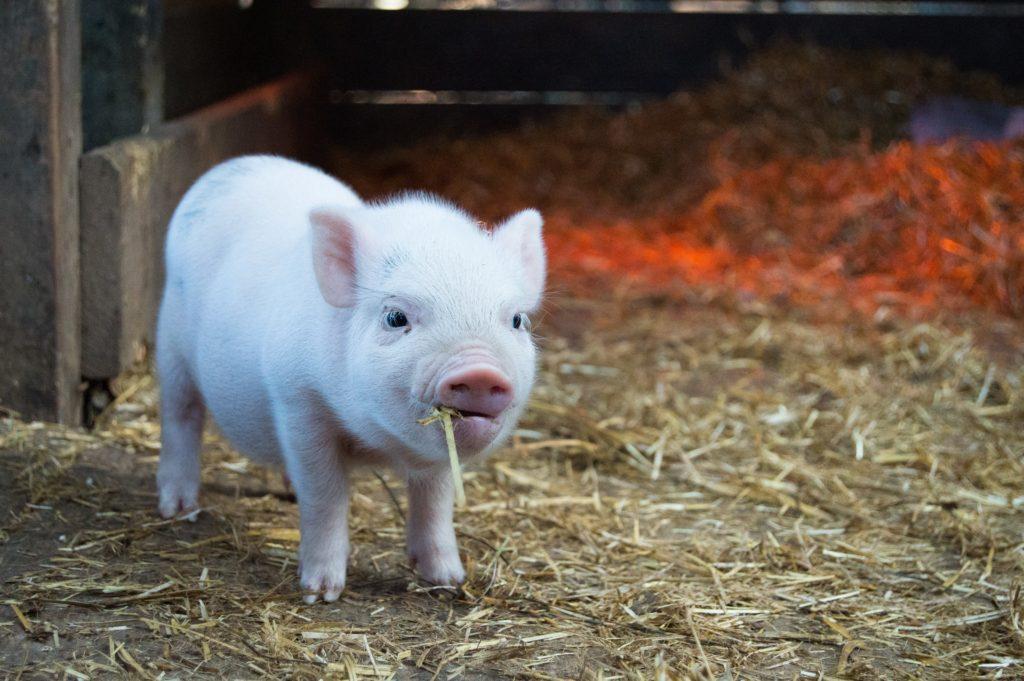 Haustier Schwein